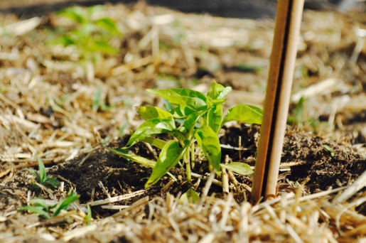 Peppers in the ground